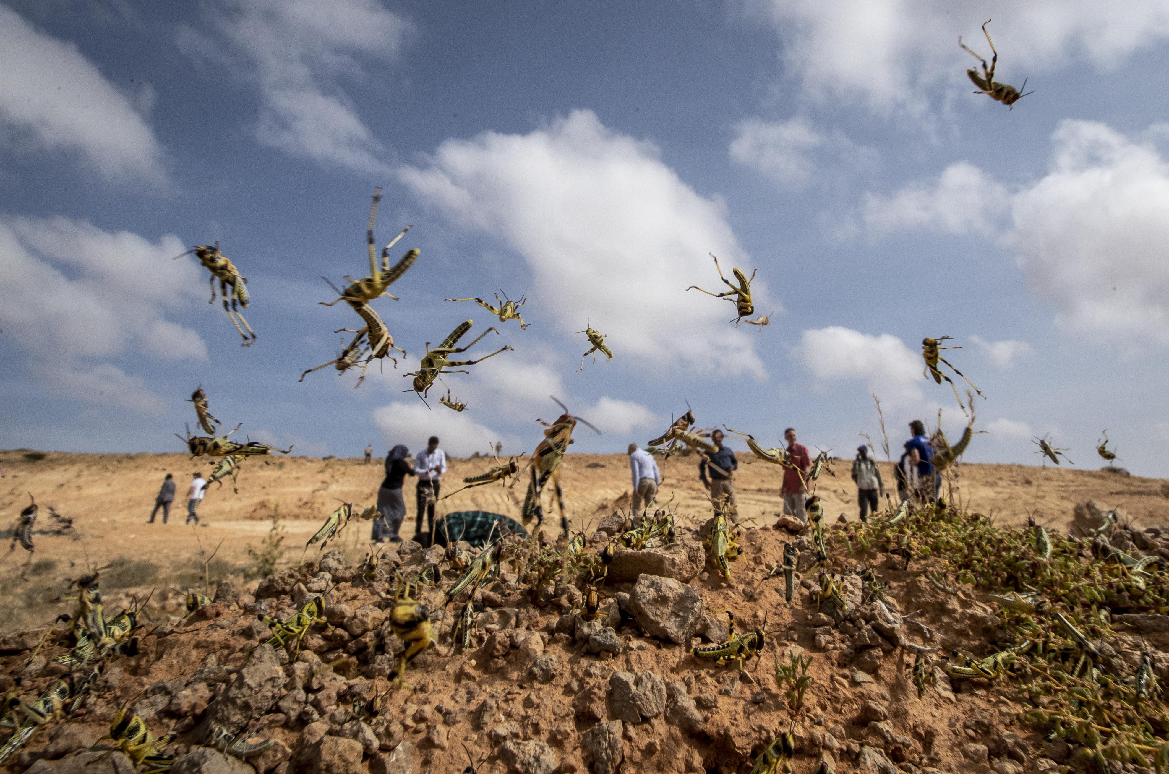 Como una página fuera de la Biblia: Enjambres de langostas 'tan grandes como las grandes ciudades' asaltan África, amenazando a millones de vidas - locust africa ap 20040290012829