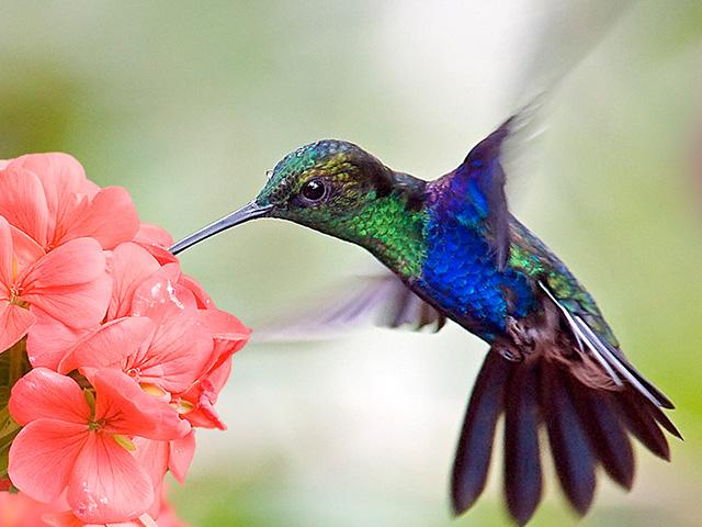 blue-hummingbird-flower_si.jpg