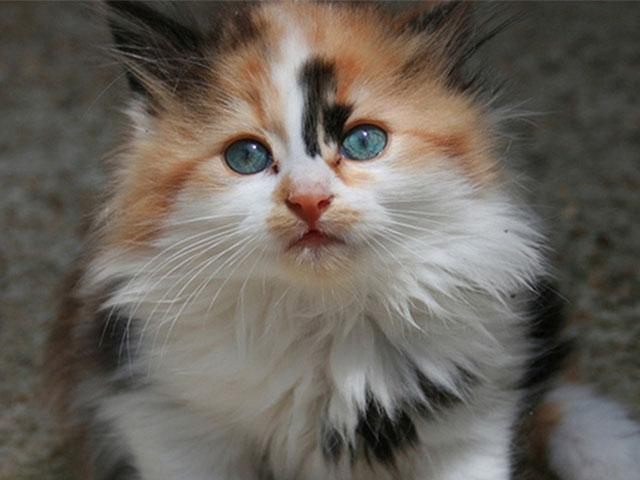 calico-kitten-sitting_SI.jpg