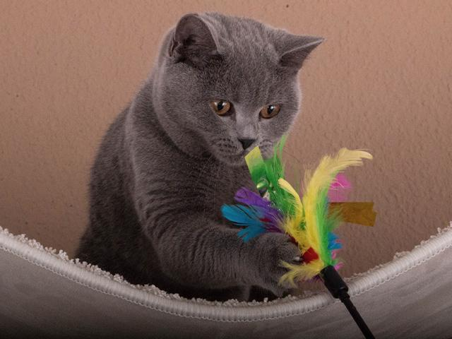 gray cat chasing a feather toy