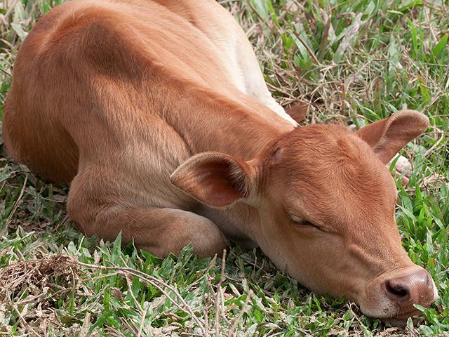 cow-calf-sleeping_si.jpg