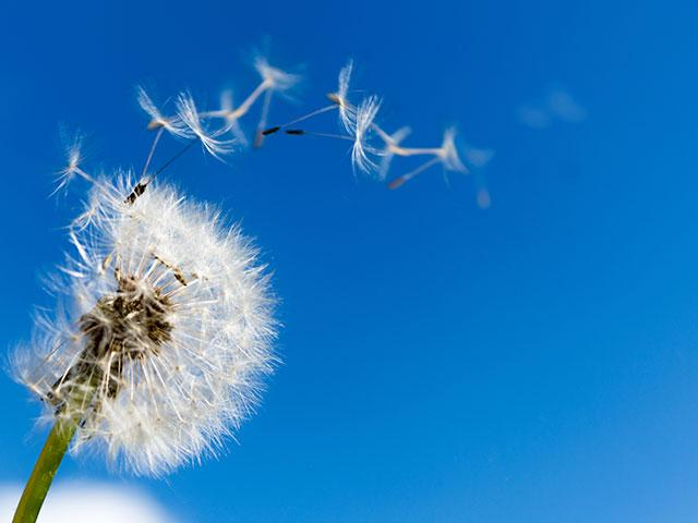 dandelion_seeds_blowing_si.jpg