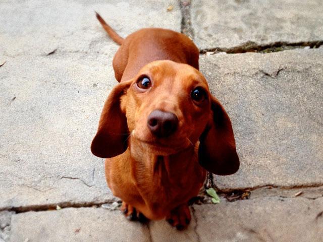 dog-dachshund_si.jpg