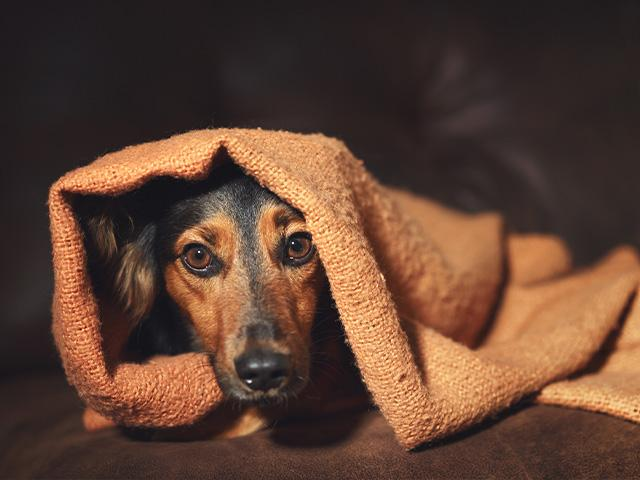 little dog hiding under a blanket