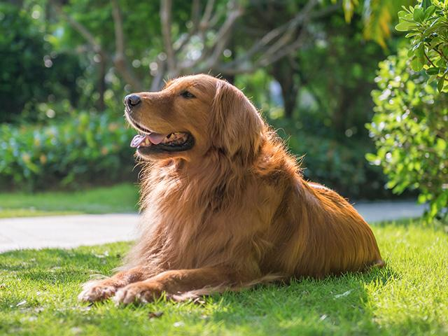 Golden retriever laying in the grass