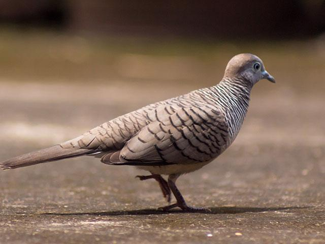 gray-dove-bird_si.jpg