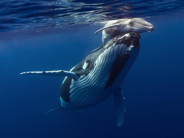 mother humpback whale and newborn humpback whale