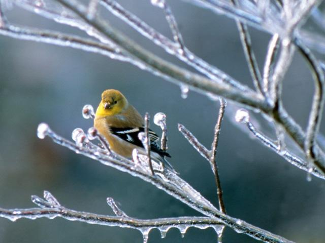 a goldfinch perched on an icy tree branch