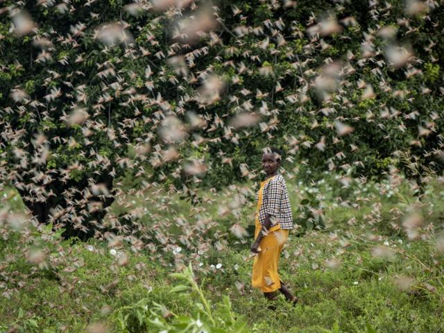 A farmer looks back as she walks through swarms of desert locusts feeding on her crops, in Katitika village, Kitui county, Kenya (AP Photo/Ben Curtis)