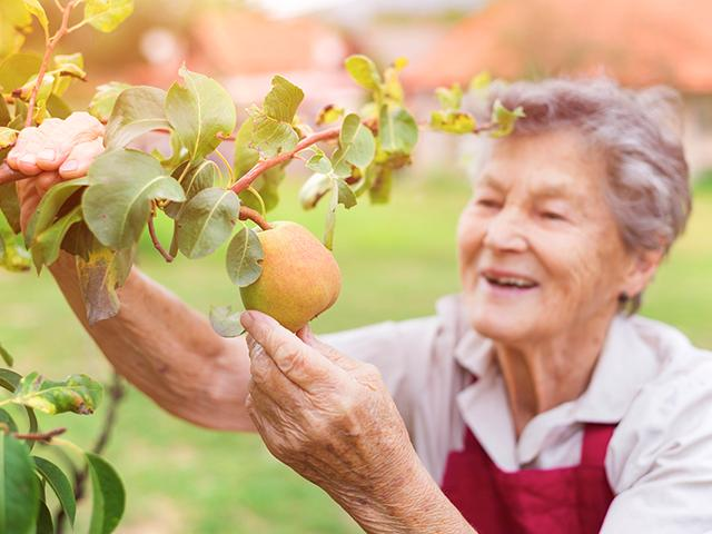 senior woman and a pear tree