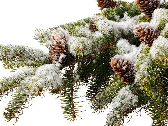 pine-branch-snow