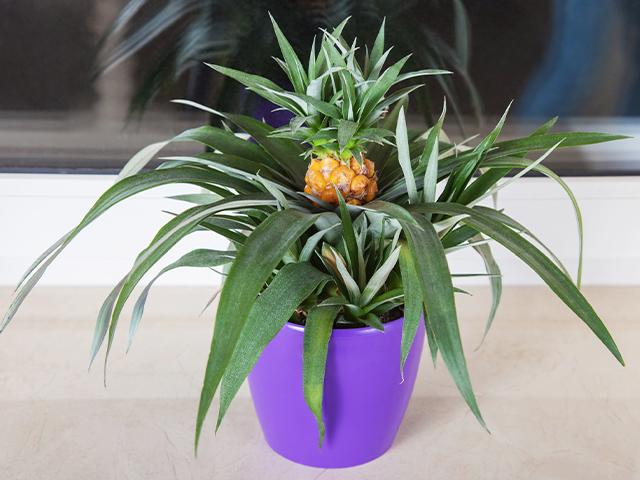 potted pineapple plant