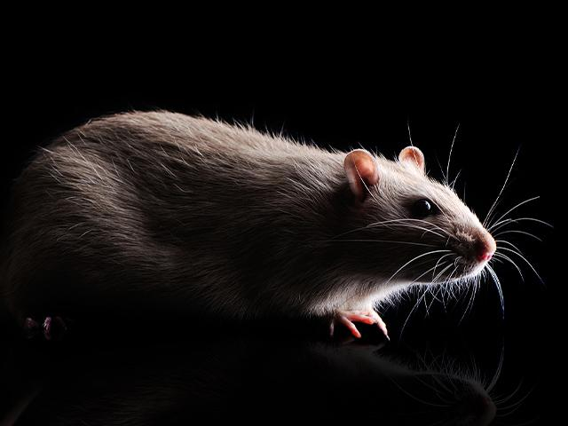 grey rat in a house