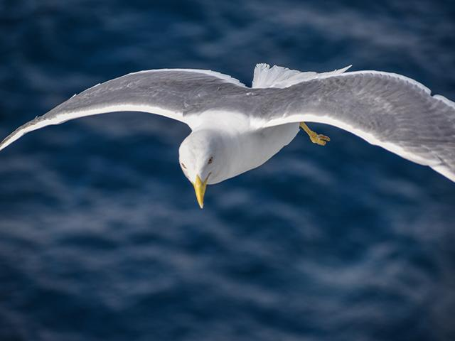 seagull flying closeup