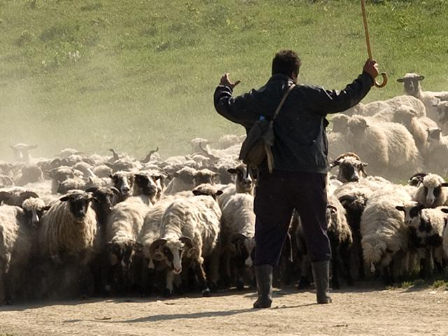 sheep-shepherd-closeup_si.jpg