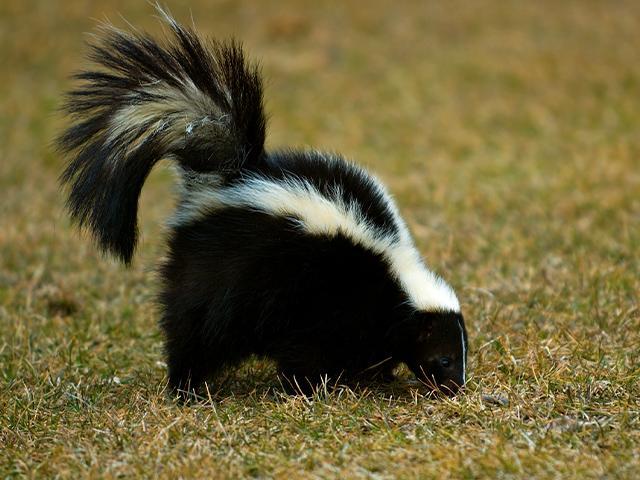 a skunk walking across the grass
