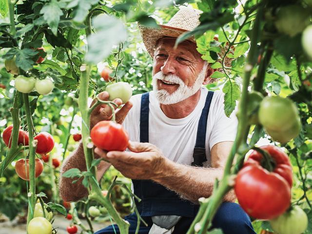 an older man harvesting tomatoes