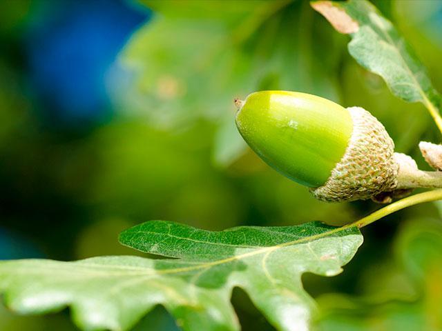 tree-acorn