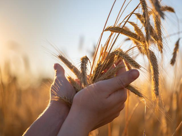 hands holding wheat in a wheat field