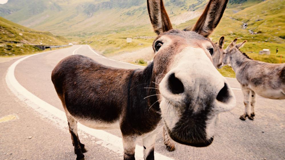 donkeyas