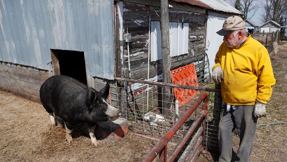 Farmer Chris Petersen looks at a Berkshire hog in a pen on his farm near Clear Lake, Iowa. COVID-19 has created problems for all meat producers, but pork farmers have been hit especially hard. (AP Photo/Charlie Neibergall)