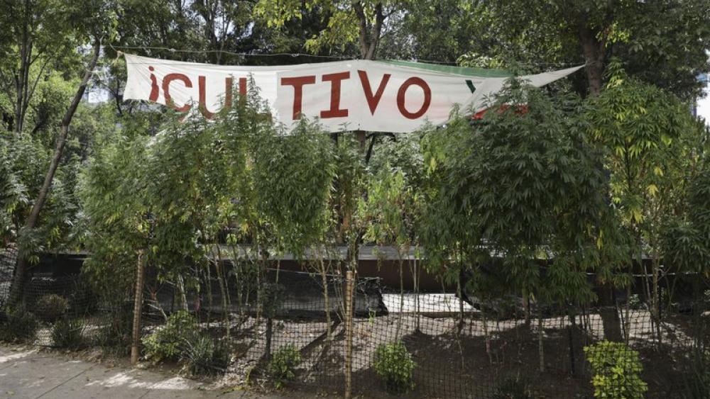 Esta fotografía del jueves 19 de noviembre de 2020 muestra plantas de marihuana sembradas frente al Senado, en la Ciudad de México. (AP Foto/Eduardo Verdugo)
