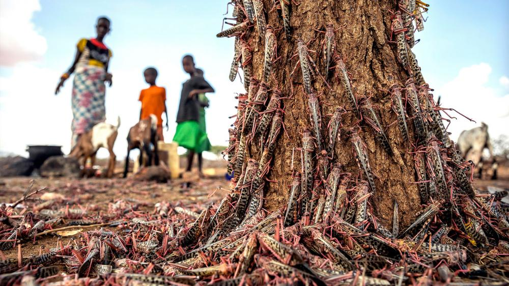 Parts of Africa have faced the biggest locust outbreak in 70 years, and now a second wave of the voracious insects, some 20 times the size of the first, is arriving. (PHOTO CREDIT: Sven Torfinn/FAO via AP)