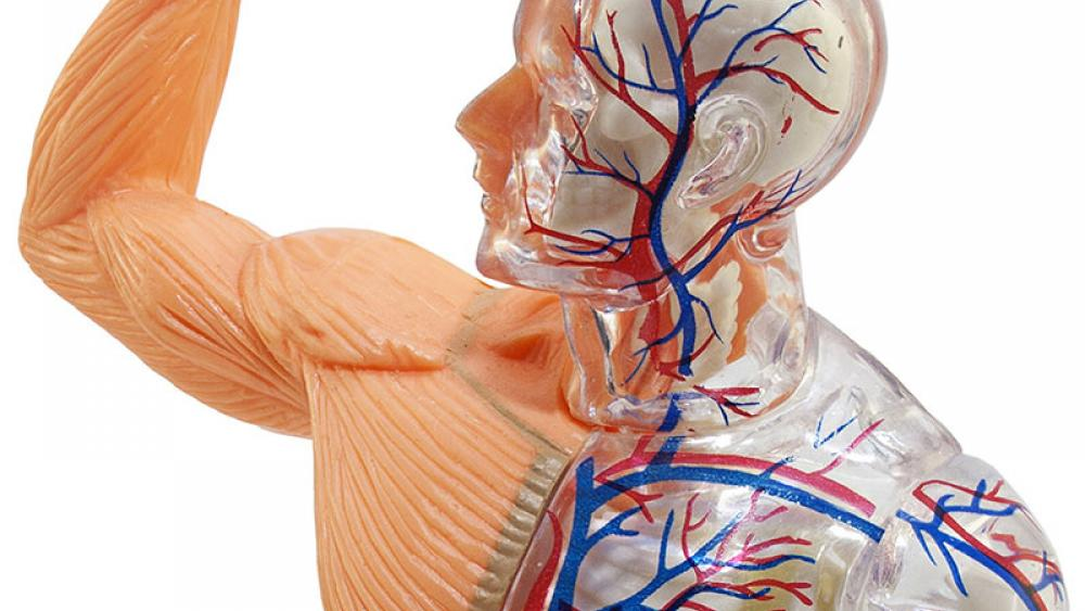 Re-write the Anatomy Books: Scientists Discovered a New