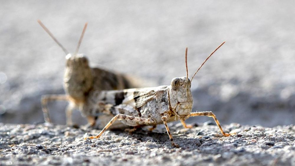 This Thursday, July 25, 2019, photo shows grasshoppers on a sidewalk outside the Las Vegas Sun offices in Henderson, Nev. (Steve Marcus/Las Vegas Sun via AP)
