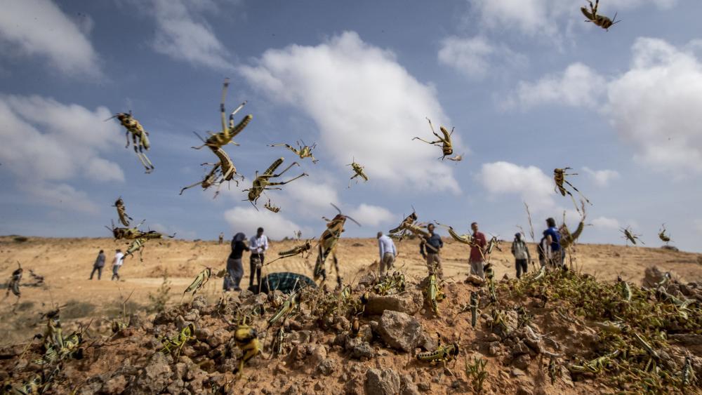 Swarms of locusts in rural Kenya